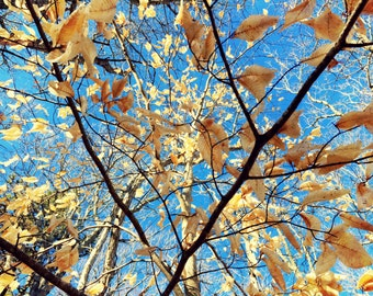 Nature Photography - Tree Photography - Fall Photography - Botanical Print - Tree - Leaves - Blue Sky