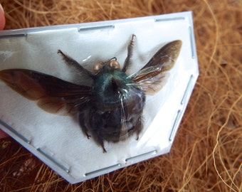Blue Carpenter Bees, Xylocopa caerulea MALES from Java  Real Dried Insects