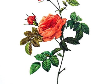 Redoute Rose Print - Rosa Inermis - 1978 Vintage Flowers Book Print  - 11 x 9