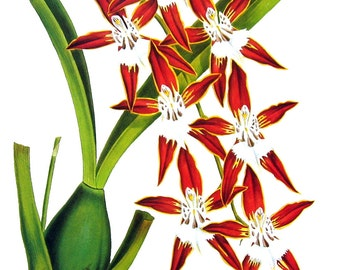 Flower Print - Orchids - Odontoglossum nevadense - 1979 Vintage Book Page - Large Print For Framing - 15 x 12