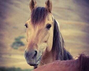 Buckskin - Wild Mustang Head Shot