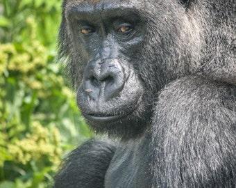 Gorilla - Ape - Wild Animal - Animal - Wildlife - Wildlife Photography - Fine Art Photography
