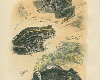 Antique Common Toad Print, Natterjack Print, Reptile Picture 7,  Amphibian Natural History Print 1893, Library Decor, Scientific Print