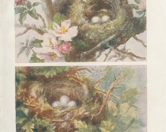 1906 Antique Tiny Bird Nest Picture 3, Egg, Chaffinch, Greenfinch, Country Cottage Decor Woodland Art, Woodland Nursery, Natural History