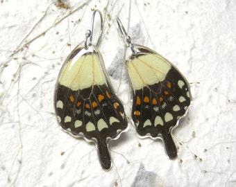 Pendientes con Alas de Mariposas Verdaderas con ganchos de Plata. Aretes de Papilio torquatus