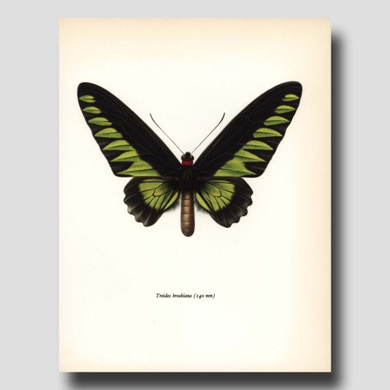 """Butterfly Art (Hostess Gift, Indian Decor, 1960s Print) """"Rajah Birdwing"""" Vintage Lime Green and Black Art Book Plate to Frame No. 64-1"""