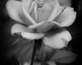 Flower Photography, Garden Photography, Nature Photography, Olympic Peninsula, Washington State, Black & White Rose