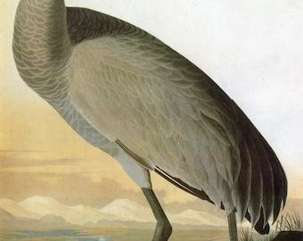 John James Audubon Reproductions - Birds of America, Hooping Crane, 1827-1835. Fine Art Print.