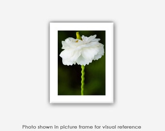 Flower Photography, Ranunculus, Photographs, Photos, Abstract Art Prints, Blank Photo Greeting Cards, White, Green Nature Photography,