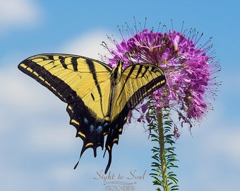 Swallowtail Butterfly Art, nature photography, insect print, butterfly gifts, wall décor, fine art photography
