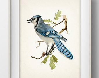 Bluejay or Blue Jay - BI-15 - Fine art print of a vintage natural history antique illustration