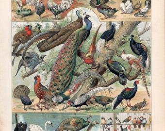 1897 Tropical Birds Antique Print Vintage Lithograph Birds Illustration Chart Oiseaux Poster Swan Songbird Ducks Pigeons Rhea Flamingo Ibis