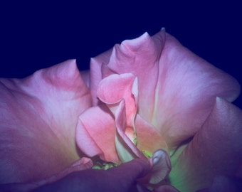 Flower Photography, Macro Photography, Flowers, Roses, Romantic, Surreal- Lost in the Folds (2)