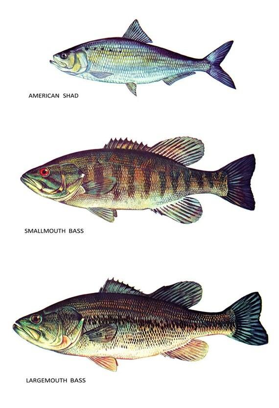 Fisch klassifizierung poster amerikanischer shad for Heimische fische
