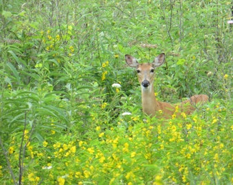 Deer Photo, Country Photography, Rural Photo, Home Decor, Fine Art Print