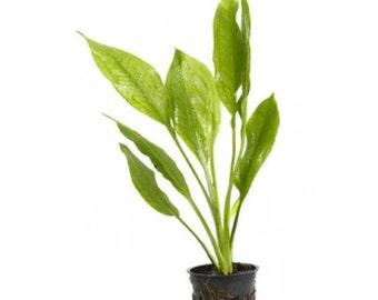 Potted Amazon Sword Plant - Beginner Tropical Live Aquarium Freshwater Plant