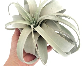 Tillandsia Xerographica large