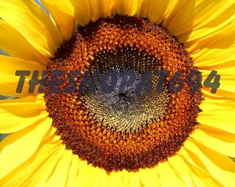"""Sunflower Photo - Yellow Flower Photo - Yellow Sunflower - Instant Download - """"Sunny Side Up"""""""