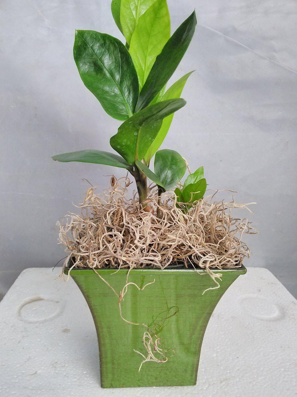 Rare zz plant zamioculcas zamiifolia house plant by for Plante zamioculcas