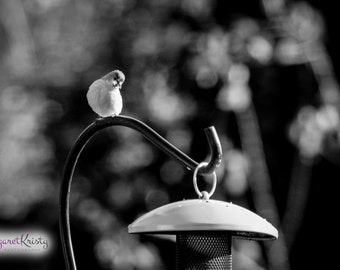 Curious Bird on a Bird Feeder - black and white animal photography