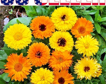 50+ Calendula Officinalis Pot Marigold Mix Seeds Annual Blooms Heavily From USA