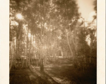 Birch forest, photo, individual gift, tree image, trees, forest image,black and white photo,original photo,sepia photo,forest path,miniature
