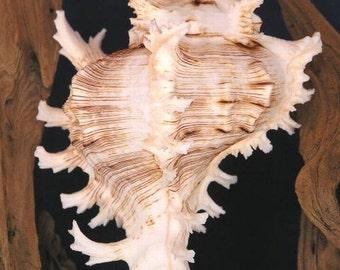 Murex Seashells - Various Sizes