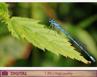 DIGITAL DOWNLOAD dragonfly photography, Azure damselfly, instant jpg, nature macro photography, fine art home decor, printable wall art