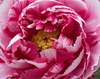 Flower Photography Red & White Striped Peony Art Photograp Print Home Wall Decor Living Room Bedroom Kitchen