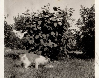 vintage photo 1920 Calico Cat Drinks Milk from Dish in Yard