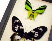 Real Framed Ornithoptera Meridionalis Birdwing Butterfly Pair Shadowbox Display 6239