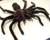 Real Framed Euryplema Spinicrus Large Hairy Tarantula Spider 7930L