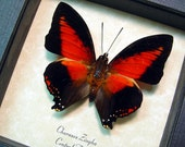 African Red Heart Charaxes Zingha Conservation Real Framed Butterfly 219