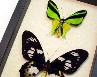 Real Framed Ornithoptera Meridionalis Birdwing Butterfly Pair Shadowbox Display 6239