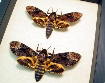 Real Framed Acherontia Lachesis Death's Head Moth Pair 8112p
