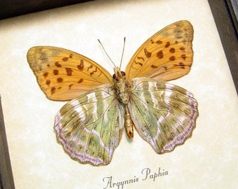 Real Framed Argynnis Paphia Rare Leaf Mimic Green and Orange  Verso Butterfly 105
