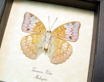 Real Framed Tanaecia Pelea Rare The Malay Viscount Verso Butterfly 8333