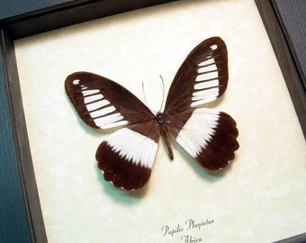 Real Framed Papilio Plagiatus Rare The Mountain Mimetic Swallowtail Butterfly 8355