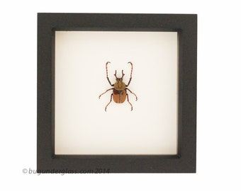 Real Framed Beetle Deer Horn Bug