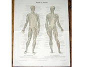 1894 HUMAN MUSCLES MUSCULATURE system print original antique medical body anatomy lithograph