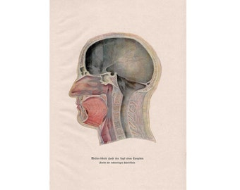 1900 HUMAN ANATOMY print original antique medical science lithograph - head of a man