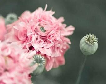 Pink Poppy Print, Green, Pink, Flower Photography, Pink Poppies, Poppy Art Prints, Poppy Pods, Green Pink Decor