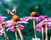 Hummingbird Dancing On Top Echinacea Flower Garden Purples Blue-green flying hovering giclee 10x25 Panoramic fine art print