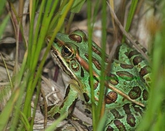 Green Leopard Frog, nature photograph, art card, wildlife lovers