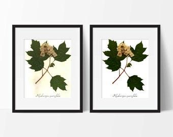 Oak Leaf Hydrangea Botanical Art PRINT - Reproduction Herbarium Specimen