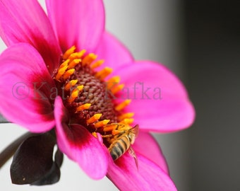 Photo Art by Kathy Kafka - Pink Flower with Bee in Full Bloom petals fine art photography print wall picture side view
