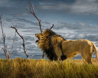 Roaring African Lion the King of the Beasts in the Grass No.08262 Wildlife Animal Landscape Nature Photography