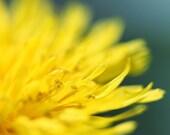 Dandelion Art Macro Photography Yellow Wall Art Teal and Yellow Art Turquoise Blue Green Macro Dandelion Flower Photography Floral Wall Art