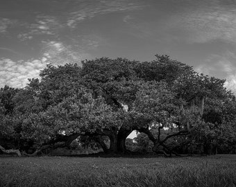 New Orleans Photography, Tree of Life, Acrylic, Black and White, Audubon Park, Nature Photograph, Live Oak Tree