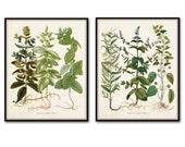 Herbs de Menthol Print Set - Botanical Herb Print - Wall Hanging - Poster - Antique Botanicals